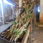 les cannes à sucre, coupées à la main, sont posées sur le tapis avant d'être broyées