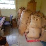 les graines de cacao sont récoltées à Grenade